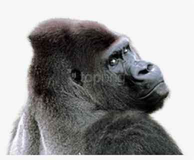 Free Gorilla Clip Art with No Background - ClipartKey