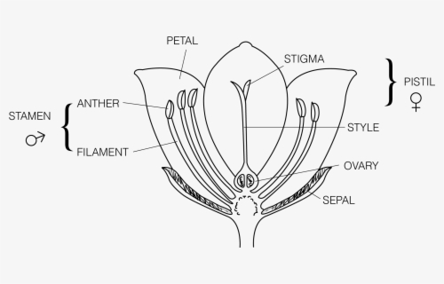 Clip Art Parts Of A Daisy Flower Diagram - Parts Of The ...
