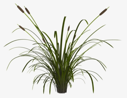 Reeds Plants Water Pond Lake Png Image Reeds Clipart Free Transparent Clipart Clipartkey