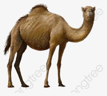 Free Camel Images, Download Free Clip Art, Free Clip Art on Clipart Library