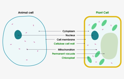 Download Animal Cell Diagram Unlabeled - Chloroplast ...