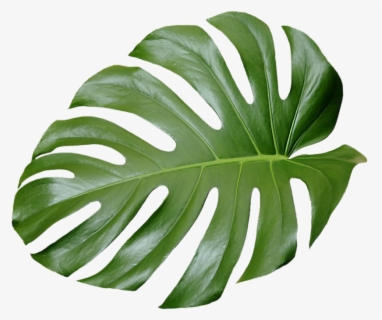 Free Tropical Leaf Clip Art With No Background Clipartkey Download tropical leaves images and photos. free tropical leaf clip art with no