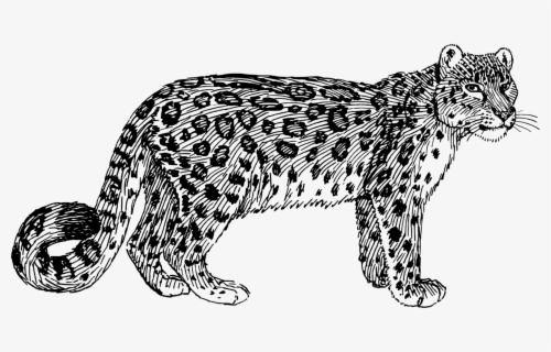 Wild Cat Carnivoran Ocelot Cartoon Snow Leopard Drawing Free